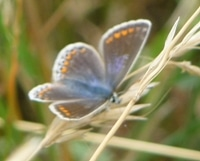 Chalkhill Blue Butterfly at Magdalen Hill Down Nature Reserve