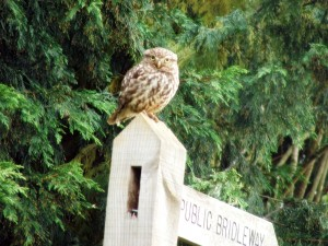 A Little Owl Perches Atop a Public Bridleway Sign in Surrey