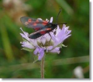 Six-Spot Burnett Moth at Magdalen Hill Down Nature Reserve