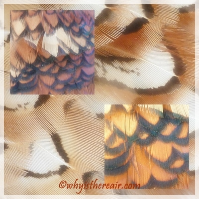 Pheasant Feathers reminiscent of the colours of autumn
